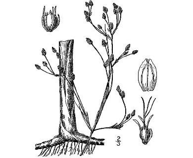 Schoenoplectus heterochaetus