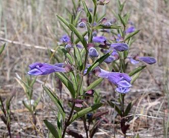 Scutellaria antirrhinoides