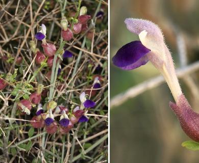 Scutellaria mexicana