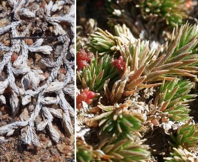Selaginella cinerascens