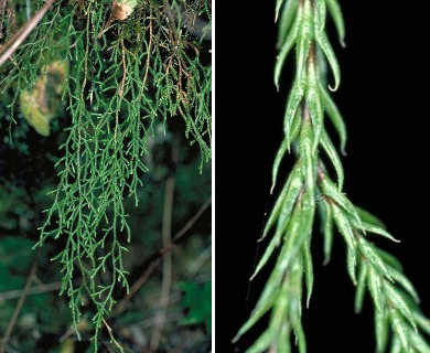 Selaginella oregana