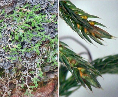 Selaginella underwoodii