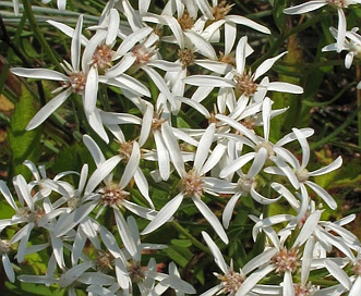 Sericocarpus linifolius