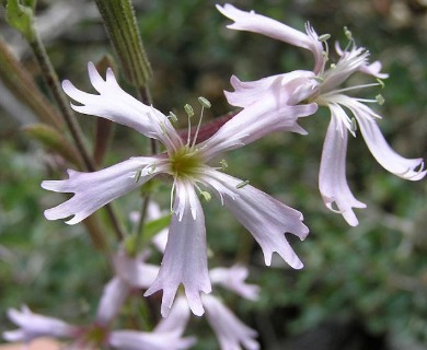 Silene occidentalis