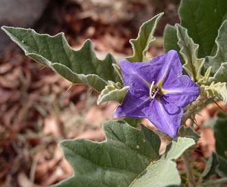 Solanum tridynamum