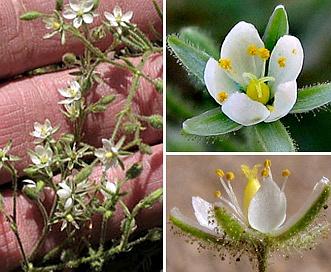 Spergularia villosa