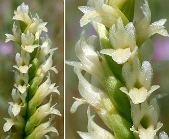 Spiranthes porrifolia