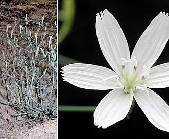 Stephanomeria malheurensis