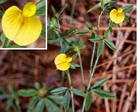 Stylosanthes biflora