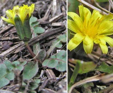 Taraxacum scopulorum