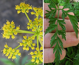 Thaspium barbinode
