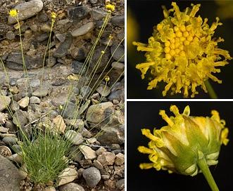 Thelesperma longipes