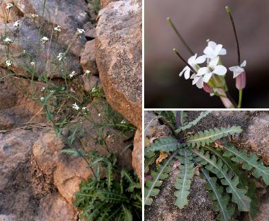 Thelypodiopsis purpusii