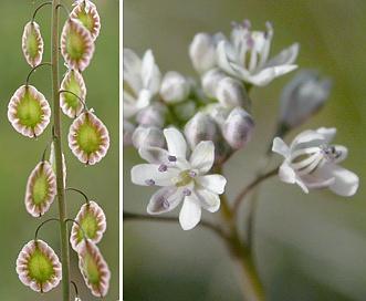 Thysanocarpus curvipes