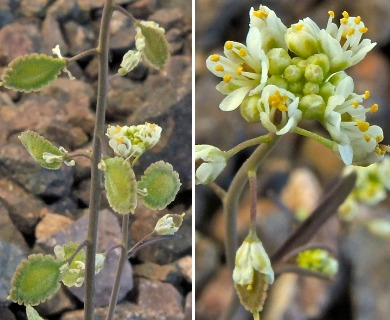 Thysanocarpus desertorum