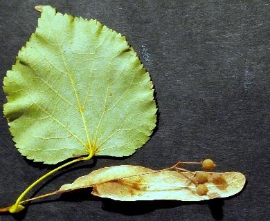Tilia cordata