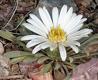 Townsendia exscapa