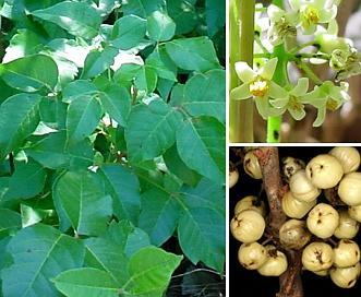 Toxicodendron rydbergii