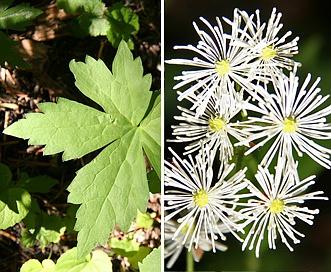Trautvetteria caroliniensis