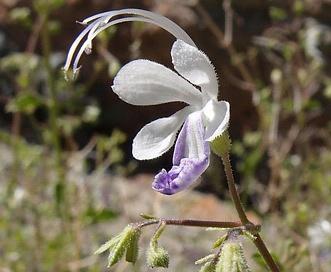 Trichostema arizonicum