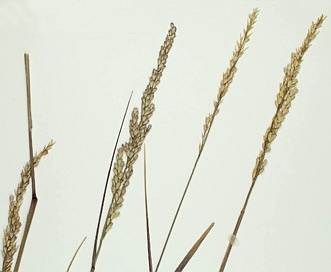 Tridens albescens