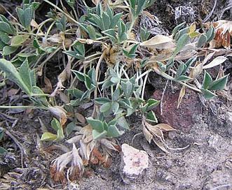 Trifolium andinum