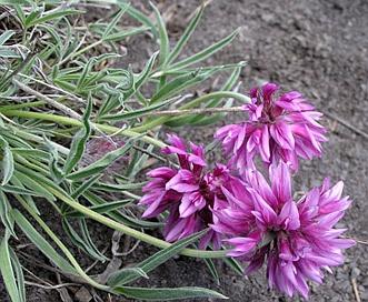 Trifolium attenuatum