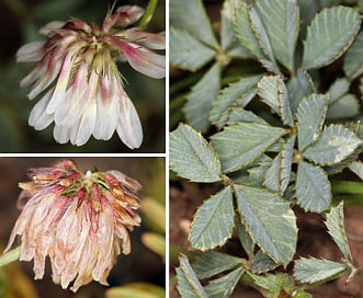 Trifolium lemmonii