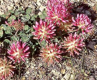 Trifolium owyheense