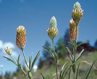 Trifolium plumosum