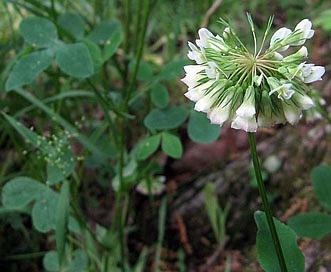 Trifolium reflexum