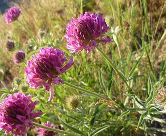 Trifolium thompsonii