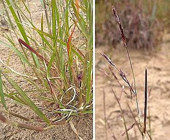 Triplasis purpurea
