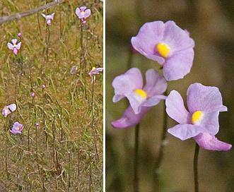 Utricularia resupinata