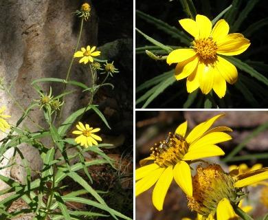 Verbesina longifolia