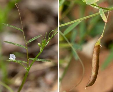 Vicia minutiflora