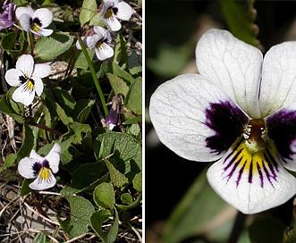 Viola cuneata