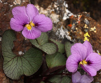 Viola flettii