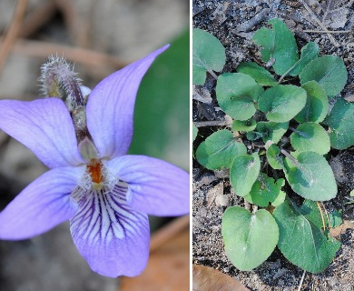 Viola villosa