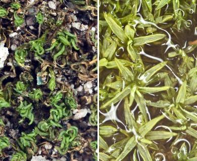 Weissia ligulifolia