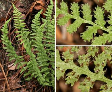 Woodsia phillipsii