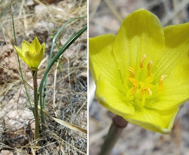 Zephyranthes longifolia