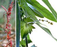 Acalypha monococca