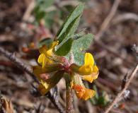 Acmispon micranthus