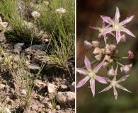 Allium kunthii