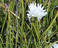Allium madidum