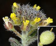 Alyssum simplex