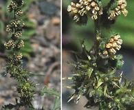 Ambrosia acanthicarpa