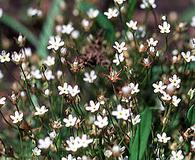 Androsace filiformis