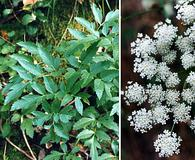 Angelica californica
